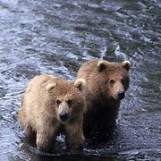Alaskan brown bear (Ursus middendorffi) pair of cubs. Brooks Falls on the Brooks River, Katmai National Park, Alaska