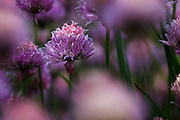 USA, Oregon, Keizer, chives in the backyard.