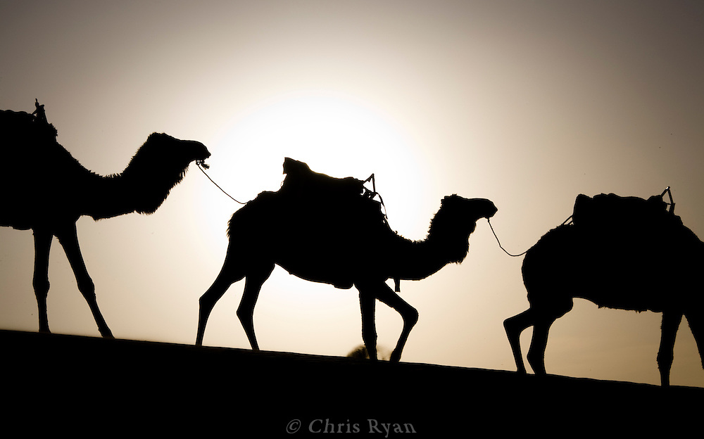 Silhouette of camel train in sand dunes near Merzouga, Sahara Desert, Morocco