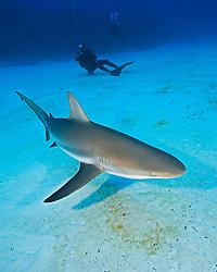 Caribbean Reef Shark, Carcharhinus perezi, and  scuba divers, over coral reef, West End, Grand Bahamas, Atlantic Ocean