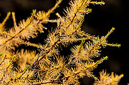 Tamarack aka larch needles in autumn in Glacier National Park, Montana, USA