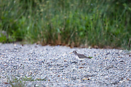 A Spotted Sandpiper (Actitis macularius) on a rocky shoreline at Deer Lake in Sasquatch Provincial Park (near Harrison Hot Springs, BC).  I had initially seen 3 chicks on the beach that then ran off to hide in the tall grass.  The adult male Spotted Sandpiper rears the chicks so this is most likely the father leading me away from where the chicks are hiding.
