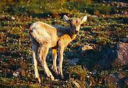 Bighorn Sheep lamb, Ovis canadensis, alpine slope of Mount Washburn, Yellowstone National Park, Wyoming.