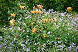 Rosa Lady of Shalott = 'Ausnyson' AGM with Geranium 'Blue Cloud' - Cransebill.