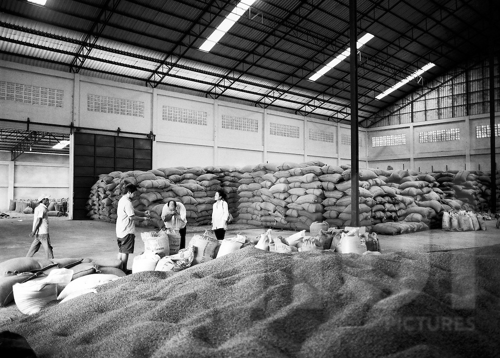 Large warehouse where coffee beans wait to be packed in hessian bags. Packsong, Laos, Asia. Lao worker smell the beans to insure quality.