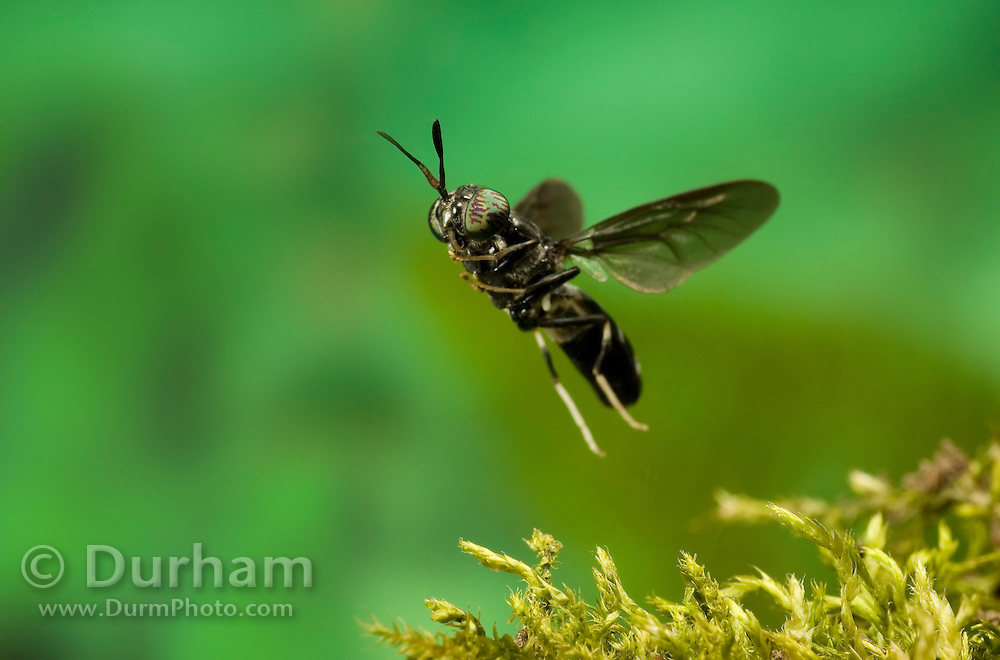 A Soldier Fly (Hermetia illucens, Family Stratiomyiidae) in flight over moss. Western Oregon.