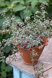 Fuchsia microphylla 'Silver Lining' in a terracotta pot