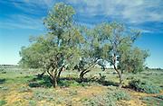 Rosewood Tree, Alectryon oliefolius, Mungo National Park, New South Wales, Australia