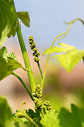 Young vines in the vineyard on the typical sandy pepply (galets) soil in Crozes Hermitage. Detail of flower buds on the vine, with leaves.  Domaine du Colombier, Crozes-Hermitage, Mercurol, Drome Drôme, France Europe