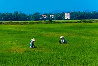 Women working in rice fields, near Danang, Vietnam.