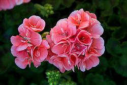 pink geranium in bloom