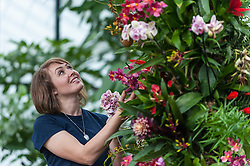 © Licensed to London News Pictures. 04/02/2016. London, UK.  4 February 2016. Kew horticulture staff member, Hannah Button, examines phaleanopsis and bromeliads as preparations are made for the opening of Kew Gardens' 21st annual Orchid festival (6 February to 6 March).  The Princess of Wales Conservatory has been transformed to present a sensory journey through the striking flora of Brazil during Carnival Season and includes two enormous rainforest tree structures as well as figures in the pond representing carnival dancers.<br />  Photo credit : Stephen Chung/LNP