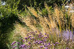 Stipa gigantea (Golden oats) with Verbena bonariensis