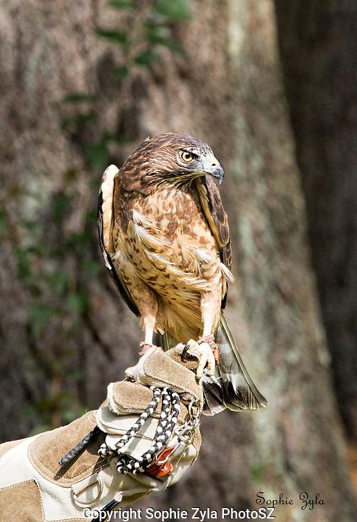 Inca Broad-winged Hawk APCH