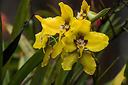 Orchid (Cyrtochilum macranthum)<br /> Cayambe Coca Ecological Reserve<br /> Andes<br /> ECUADOR, South America