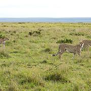 Cheetah (Acinonyx jubatus) Trio of male siblings. Serengeti Plains. Masai Mara Game Reserve. Kenya. Africa.