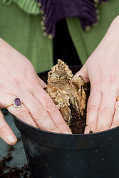 Planting Amaryllis belladonna in a container