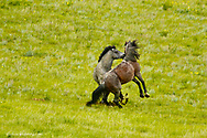 Wild horses fighting at Theodore Roosevelt National Park, North Dakota, USA