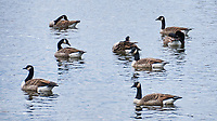 Canada Goose. Image taken with a Nikon D300 camera and 18-200 mm VR lens.