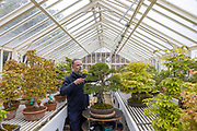 """Mcc0100044 . Daily Telegraph<br /> <br /> <br /> DT News<br /> <br /> Standalone<br /> <br /> Richard Kernick , Bonsai specialist with a Chinese Juniper """"Itogawa"""" in the Bonsai House at Kew Gardens .<br /> <br /> London 6 May 2021"""
