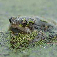 Hypopachus variolosus, south Texas