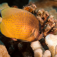 Blacklip Butterflyfish, Chaetodon kleinii,  Bloch 1790, Maui Hawaii
