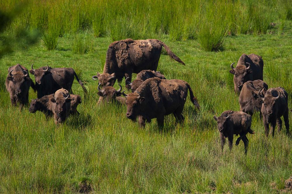 European bison or Wisent, Bison bonasus, Eriksberg, Blekinge, Sweden, Captive within a 5000 hectare enclosure.