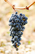 Bunches of ripe grapes. Chateau Malartic Lagraviere, Pessac Leognan, Graves, Bordeaux, France