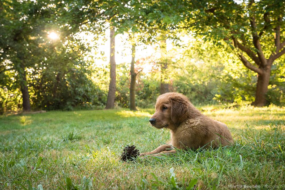 Fourteen week old golden retriever puppy
