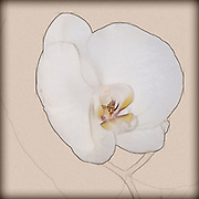 Digitally enhanced image of a sketch of a single white orchid