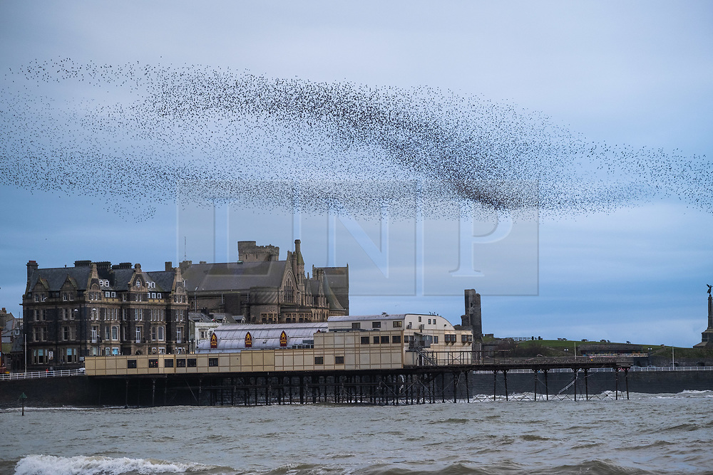 ©Licensed to London News Pictures.<br /> 18/03/2019. Aberystwyth UK. <br /> Tens of thousands of starlings perform their nightly balletic murmurations in the sky above Aberystwyth as the day draws to an end. The migratory birds are coming to the end of their winter sojourn and will soon fly off to return to their breeding grounds in Scandinavia for the summer. Aberystwythis one of the few urban roosts in the country and draws people from all over the UK to witness the spectacular nightly displays between October and March.<br /> photo credit Keith Morris/LNP