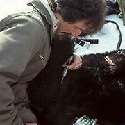 Black Bear, (Ursus americanus) Minnesota, Dave Garshelis bear researcher for Minnesota DNR takes blood sample from drugged bear.