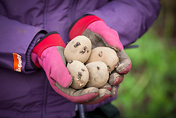 Gloved hands holding seed potatoes ready to plant