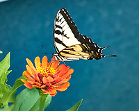 Yellow Tiger Swallowtail Butterfly on a Zinnia Flower. Image taken with a Fuji X-H1 camera and 80 mm f/2.8 macro lens