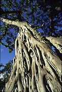 Banyan Tree, Hawaii<br />