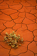 Small plant barely surviving in dried cracked red mud in Utah's Capitol Reef National Park.  Capitol Reef National Park is a United States National Park, in south-central Utah. The park, established in 1971, preserves 378 mi² protects colorful canyons, ridges, buttes, and monoliths. About 75 miles of the long up-thrust called the Waterpocket Fold, a rugged spine extending from Thousand Lake Mountain to Lake Powell, is preserved within the park.