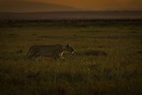 A lioness hunting at dawn in the Masai Mara National Park, Kenya