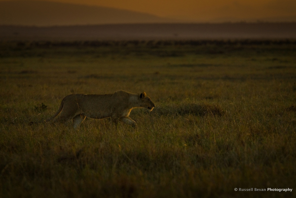 A lioness hunting at dawn in the Masai Mara National Park, Kenya