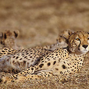 Cheetah, (Acinonyx jubatus) Mother and cubs resting.Serengeti Plains Masai Mara Game Reserve. Kenya. Africa.