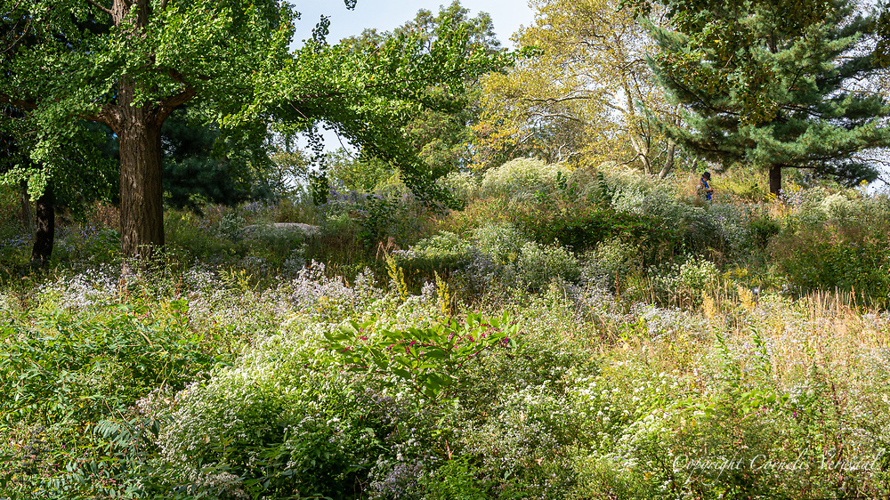Autumn wildflowers and grasses on The Dene Slope, a vibrant native meadow in Central Park.