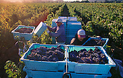 Harvesting grapes for Opus One winery near Far Niente Winery in the Napa Valley, California.