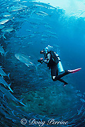 diver and schooling bigeye jacks, Caranx sexfaciatus, Sipadan Island, Borneo, Malaysia  MR 275