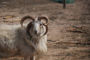 HENGBIN, CHINA - (CHINA OUT) <br /> <br /> A Goat With Four Horns In Shandong, China<br /> <br /> A four-year-old goat with four cavels (Horns), is seen in Hengbin, Shandong Province of China. The goat weights about a hundred weight and eats as normal as the other goats. As specialists saying that it could be kind of gene mutation.<br /> ©ChinaFoto/Exclusivepix