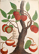 17th century Coloured copperplate engraving described as Li Ci Fruct Arbor of a disproportionate lychee tree (Litchi chinensis) by Father Michael Piotr Boym 1656