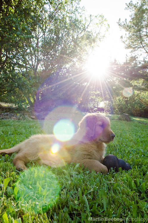 Eight week old golden retriever puppy with toy in the early morning sun