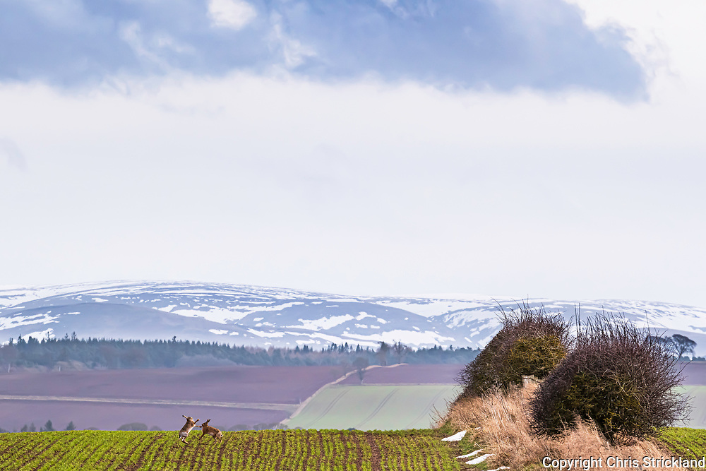 Kelso, Scottish Borders, Scotland, UK. 21st February 2021. Brown Hares carry out their mating ritual of boxing against the backdrop of the Cheviot Hills near Kelso in the Borders.