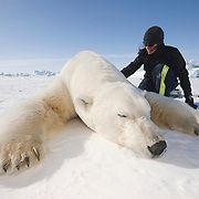 Karyn Rode prepares to take data from a large male polar bear on the ice pack of the Beaufort Sea, Alaska.