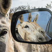 There are estimated to be over 600 free roaming donkeys on Bonaire and over 30,000 free roaming goats.  Many reserachrers and conservaitonists believe both the donkeys and goats are causing widespread habitat destructon on Bonaire by preventing trees and vegetation from regrowing. To reduce this impact, the Donkey Sanctuary on Bonaire has taken approximatley 600 donkeys out of the wild and put them in a large, fenced sanctuary on the southern part of the island. For a fee, tourists can drive through the sanctuary and interact with the donkeys.