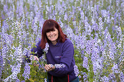 © Licensed to London News Pictures. 30_07_2015. Hurley Common, North Warwickshire, UK. When brides bought confetti petals made from delphiniums for their wedding day they started asking if they could pose in the fields where they had been grown. Now owner LILIAN (correct) SYKES welcomes brides to her farm on a regular basis to have pictures taken wearing their wedding dresses. Pictured, farm owner LILIAN SYKES tending her delphiniums. LILIAN purchased the derelict farm five years ago and had the idea of growing delphiniums to the surprise of local farmers. Last year LILIAN produced millions of confetti petals in eight different colours from her eight acres of flower fields. The petals and dried flowers found their way into major high street retailers as well as being sold online. Photo credit: Dave Warren/LNP