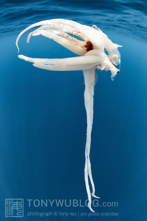 Part of a squid dropped by a sperm whale. From the size, shape and shape of the clubs on the feeding tentacles, my guess is that this is the remnants  of a sharpear enope squid (Ancistrocheirus lesueuri), a mesopelagic squid that sperm whales feed upon in the southern hemisphere.